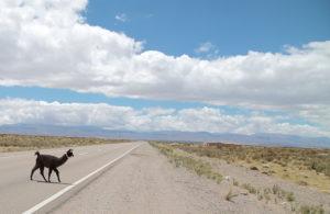 lama-argentina