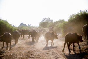Water buffaloes - Chobe River