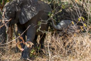 Baby elephant in the Chobe River bush