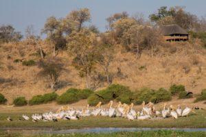 Pelicans - Chobe River
