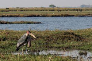 Marabou stork - Chobe River