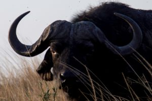 Water buffalo - Chobe River