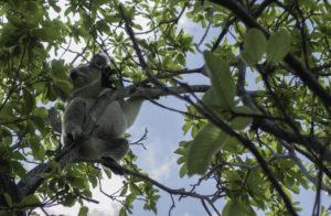 koala-magnetic-island-australia