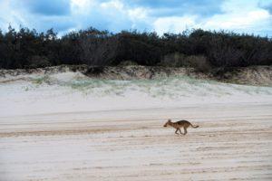 dingo-fraser-island-australia