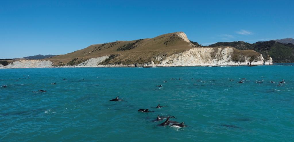 Dolphins in Kaikoura