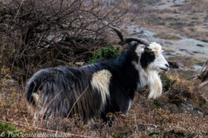 A goat brazing along the trail