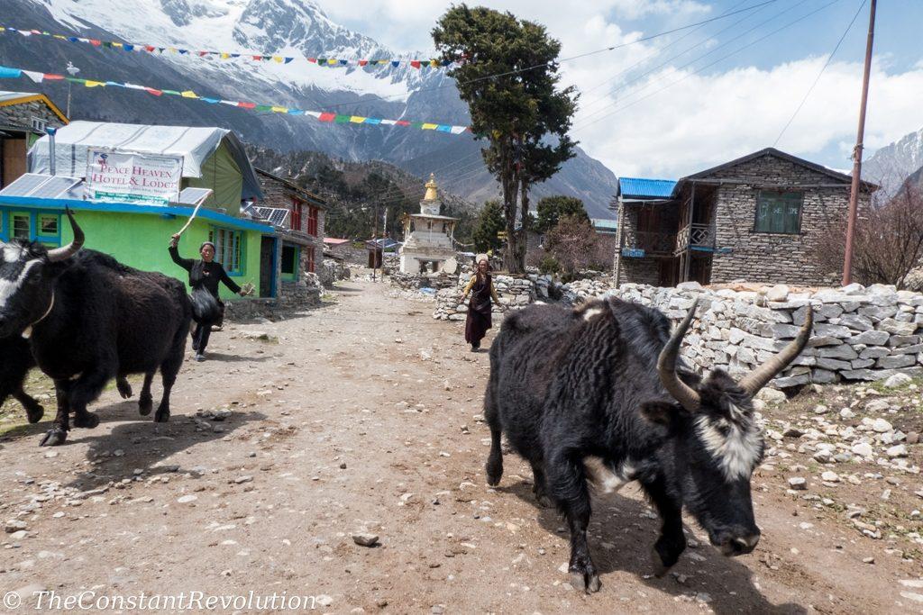 Women leading yaks in a village