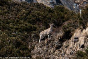 A blue sheep spotted on Manaslu's base camp trail