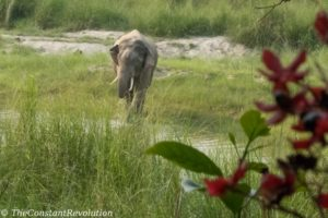Wild Asian elephant in Bardia National Park