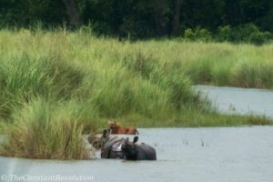 Female tiger and two rhinos at Bardia National Park