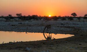 Giraffe - Etosha National Park