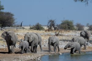 Elephants - Etosha National Park