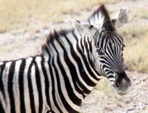 Baby zebra - Etosha National Park