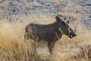 Warthog - Etosha National Park