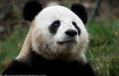 Yeah, Yeah... Pandas!