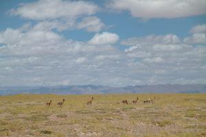 argentina-salinas-grandes-guanacos