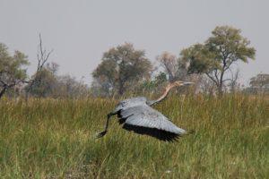 Goliath Heron - Okavango Delta