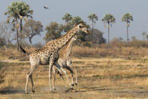 Giraffe family in Okavango Delta