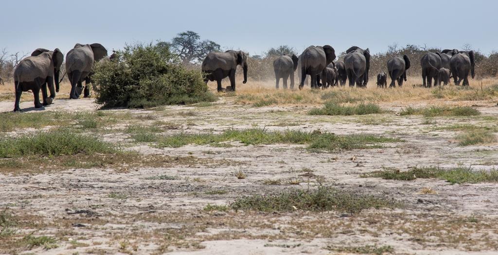 Elephant family in Savuti