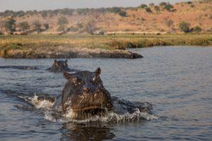 Angry hippo - Chobe River