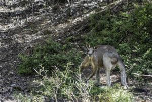 kangaroo-tamworth-australia