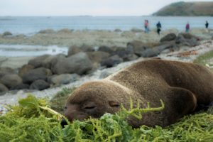 Seal in Kaikoura