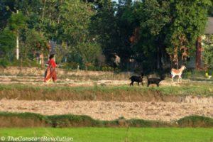 Tharu woman steering goats