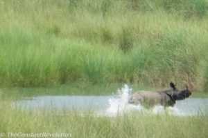 Rhino fleeing from a tiger