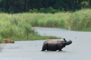 Rhino getting away from a female tiger