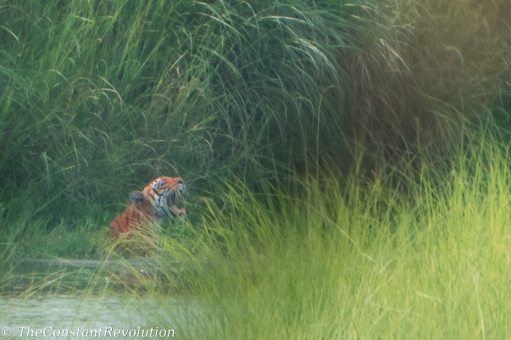 A Day Tracking Tigers