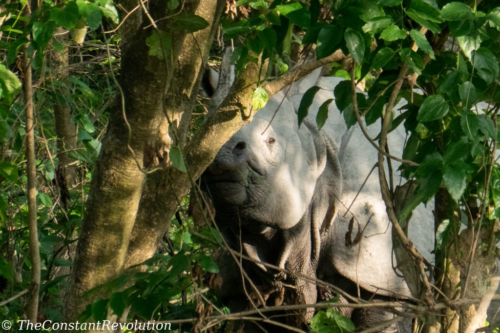 One horned rhino - Bardia National Park