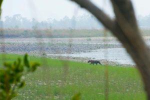 Female tiger fleeing into the bush