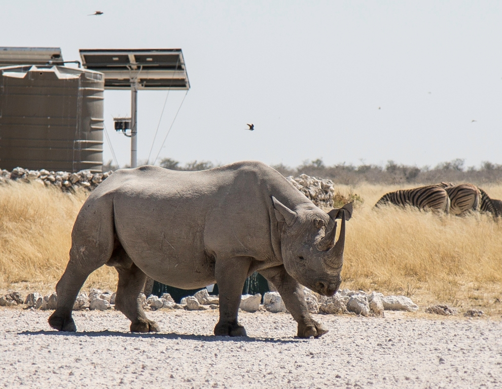Black Rhino - Etosha National Park