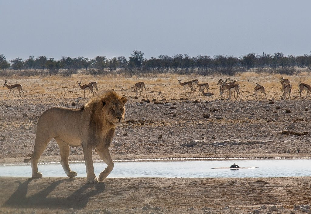 Lion - Etosha National Park