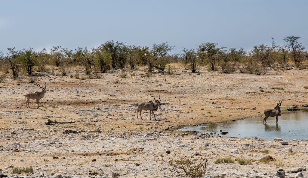 Kudus - Etosha National Park