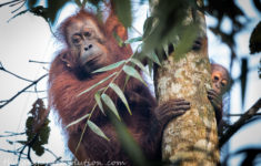 Borneo's Wildlife: the Sound of Sabah's Rainforest