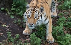 Is it possible to see the Amur tiger in Russia?